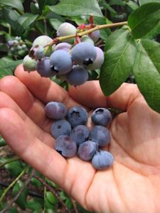 """Grow Blueberries. Here's a tip sheet to get you started…"""""""