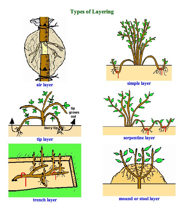 Types of layering for propagation of plants