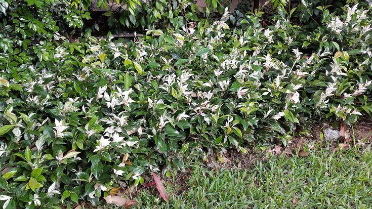 Trachelospermum 'Tricolor'