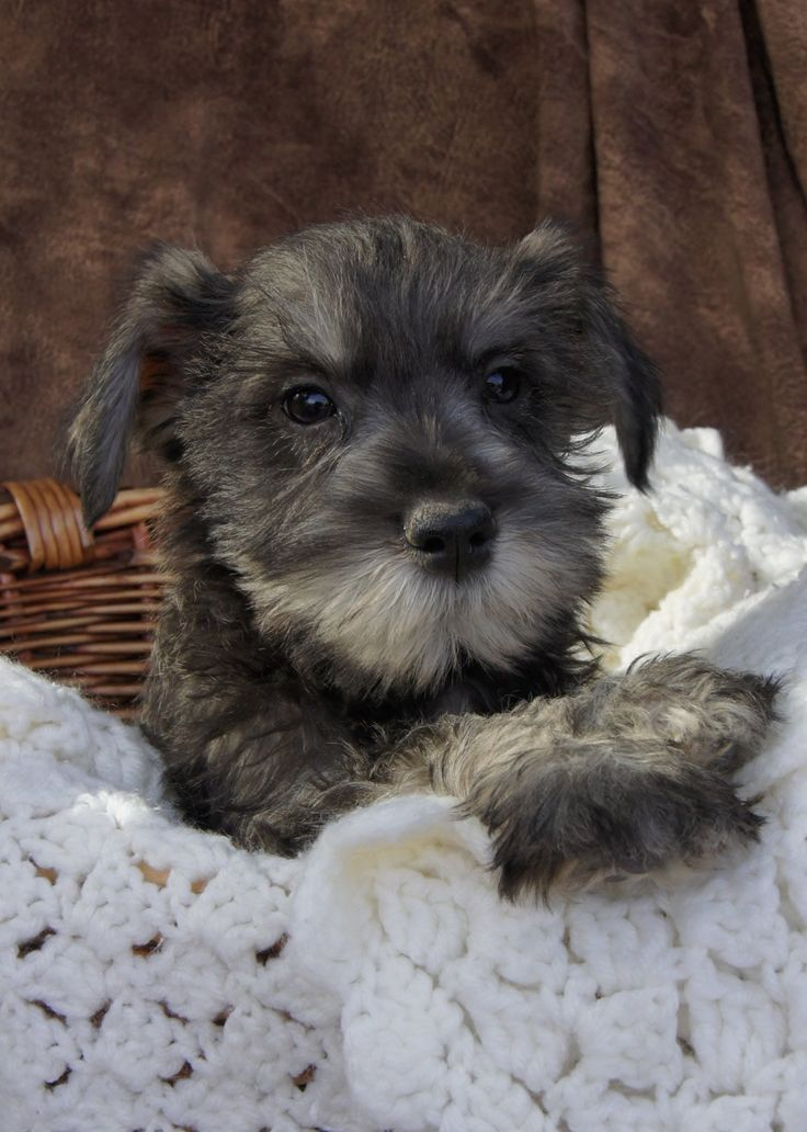 Miniature Schnauzer Puppies for sale Salt and Pepper Color