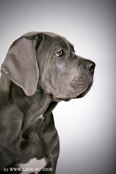 Photos Cane Corso puppies...I will have one of these one day!