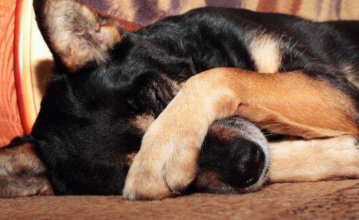 Χρήσιμες πληροφορίες για τη λεϊσμανίαση σε σκύλους Η λεϊσμανίαση σκύλου είναι μια ασθένεια που προκαλείται από τα παράσιτα Leishmania που μεταδίδονται...