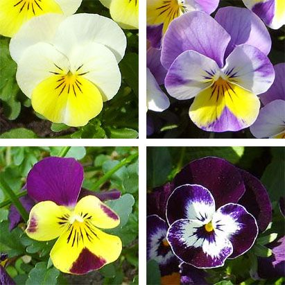 Pansy Flower's My Grandmother's favorite!