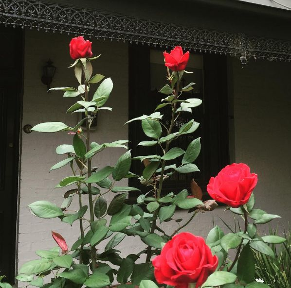 'Camp David's certainly cheering us up on this miserable Monday 🌹☁️ #mondayitis #redrose #love #rosacampdavid #scentedroses #flowers #gardendesign #gardenmaintenance #gardener #melbourne