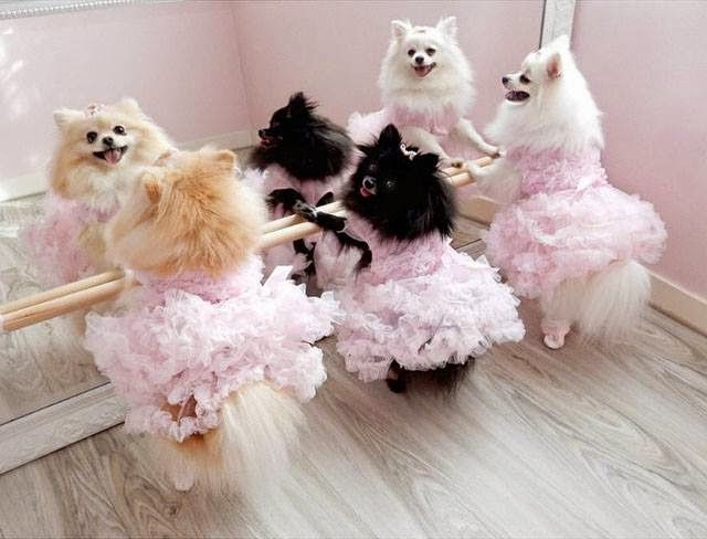 Pomeranian ballerinas...You go girls!