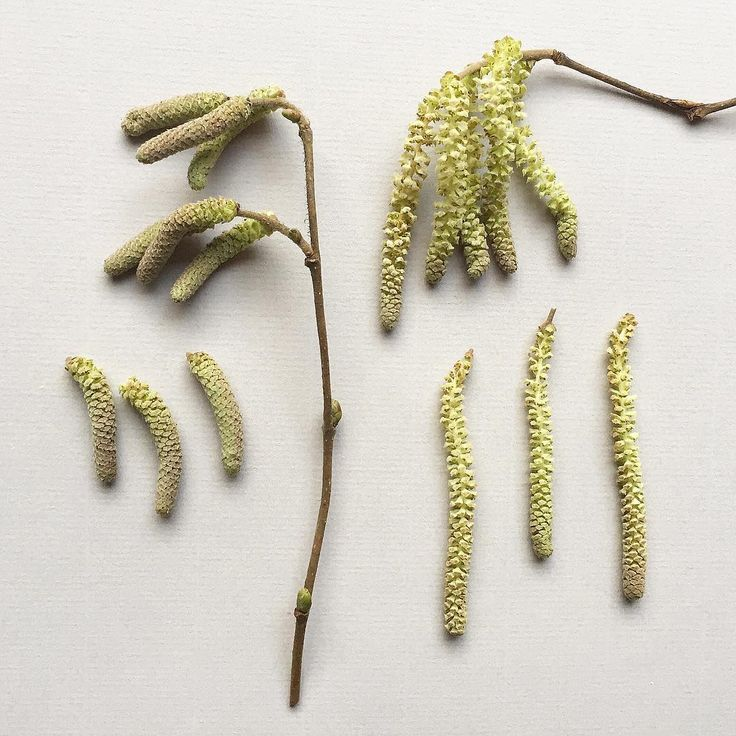 C A T K I N S . gathered from Corylus avellana, common Hazel. #corylusavellana #windpollination #pollen #botanicalstudy #botanicaldeonstruction #catkins #hazel #coryluscatkins #hazelcatkins #spring