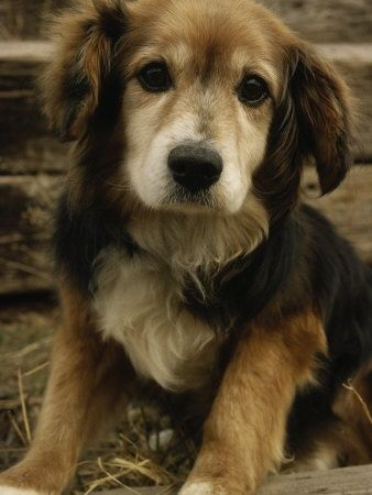 ....aawwww......beagle golden retriever mix