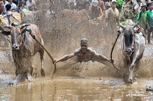 Irwansyah, Indonesia, 1st place, Indonesia National Award, 2014 Sony World Photography Awards.  Pacu Jawi or a cow race can be called in Indonesian is a traditional game that is contested attraction in Tanah Datar district, West Sumatra, Indonesia. Every year, a cow race was held in rotation for four weeks in four districts in Tanah Datar district, namely Pariangan districts, districts propagation, The Five districts, and districts Tarab River.