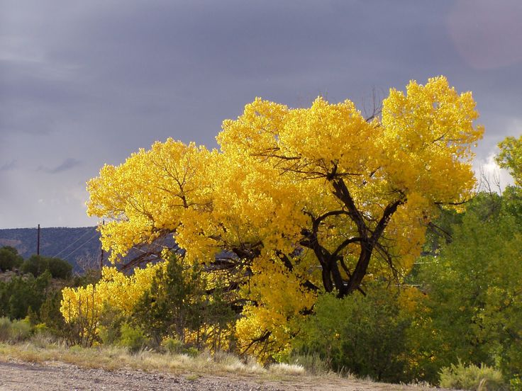 The cottonwoods of northern New Mexico are the most beautiful trees on the planet.