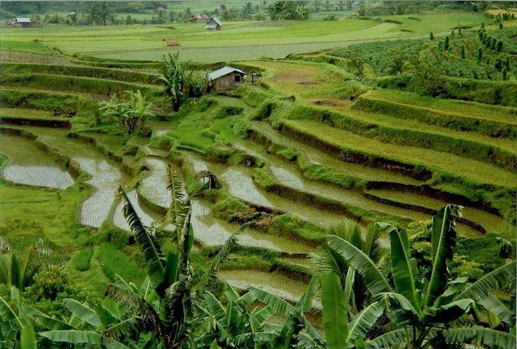 And the Minangkabau Highlands' rice fields, in West Sumatra.