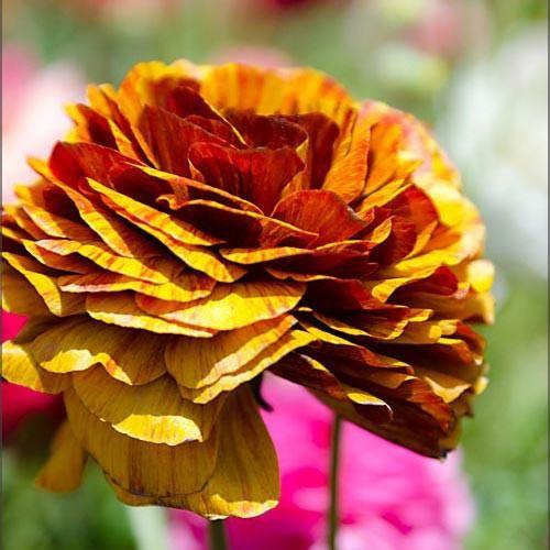 Ranunculus Café Bulbs for Sale – Easy To Grow Bulbs