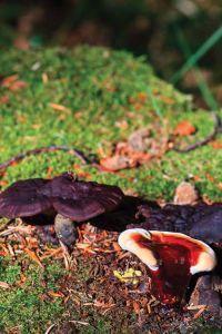 Medicinal Mushrooms | Natural Solutions