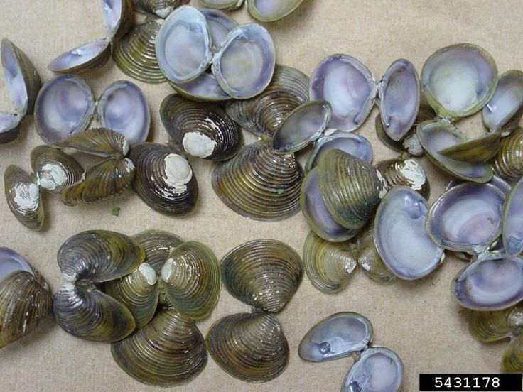 Asian clam (Corbicula fluminea) was brought to the U.S. in 1938, likely by immigrants interested in establishing it as a food item. In addition to competing with native species, Asian clams clog water intake equipment, creating problems for agricultural irrigation, drinking water suppliers and power plants that use water for cooling. Some estimates suggest that this species costs the country billions of dollars in economic damages each year.
