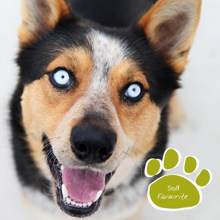 Australian Cattle Dog Rottweiler Mix Puppy