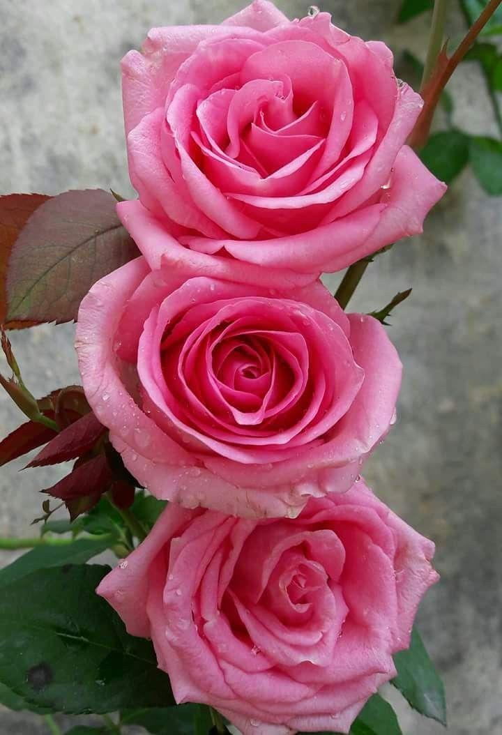 ملكة جمال القلوب Pink Flowers Art Beautiful Pink Flowers Beautiful Flowers