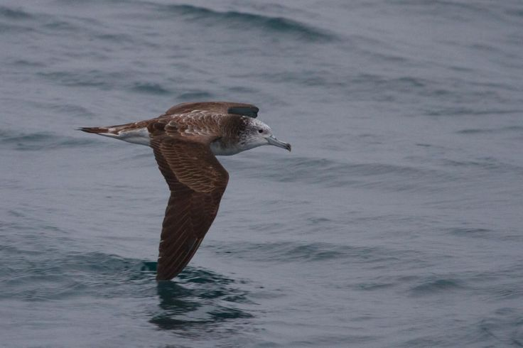 3905. Streaked Shearwater (Calonectris leucomelas)   the Pacific Ocean, nesting in Japan and the Korean Peninsula, predominately on their offshore islands