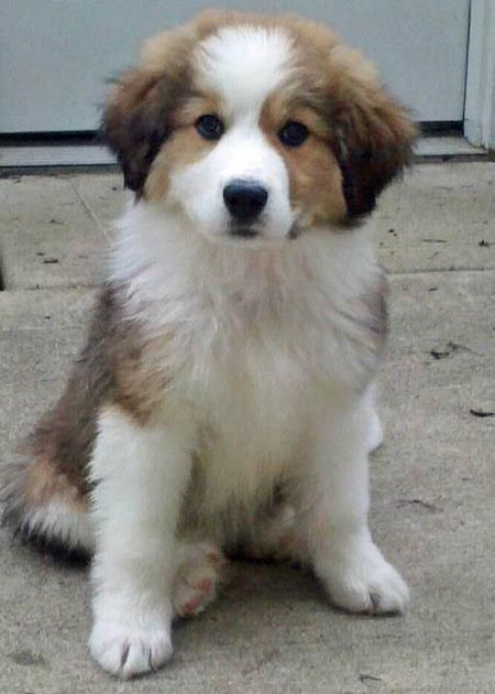 Bernese Mountain Dog and Great Pyrenees mix... This looks just like Emily when she was a puppy!!! just blonde:)