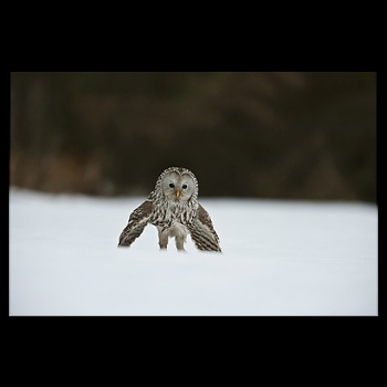 A female Ural owl prepares to lunge for a vole. Photograph By: Kiikpoder Ou