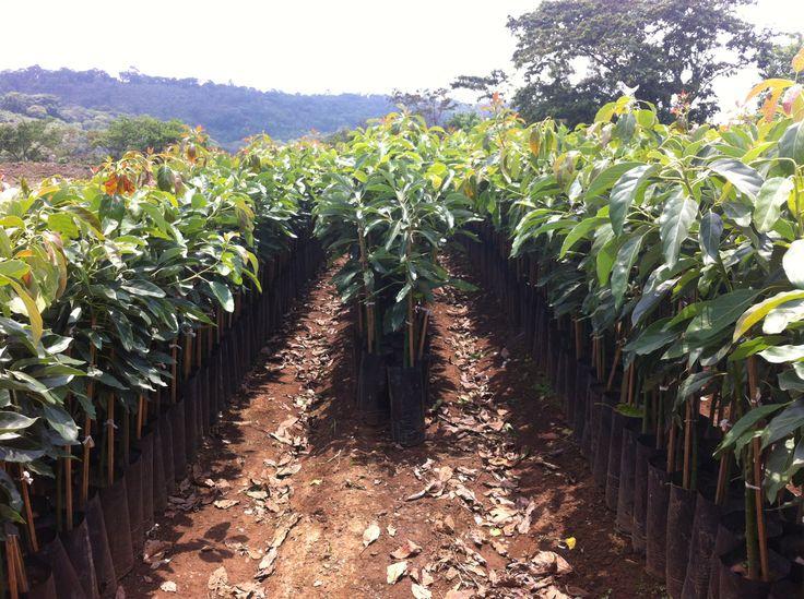 Planta de aguacate hass en uruapan michoacan mexico for Como cultivar aguacate