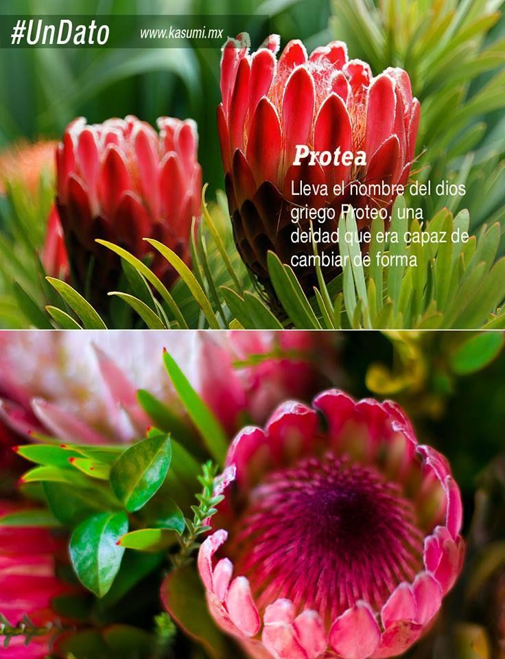 """Protea, una flor enigmática capaz de adquirir múltiples formas, muy codiciada por los botánicos en los años 1700s. La especie """"Protea cynaroides"""" es la Flor Nacional de Sudáfrica. #UnDato #FloresRaras."""