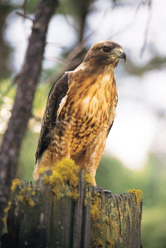 68 best michigan birds of prey eagle hawk kite vulture osprey how to identify a hawk in michigan publicscrutiny Gallery