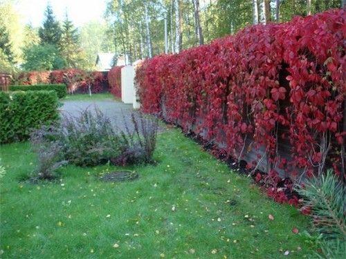 живая изгородь из винограда: 6 тыс изображений найдено в Яндекс.Картинках