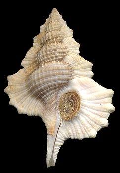 Biplex pulchellum   (Sowerby, 1825)    Gladstone, Queensland, Australia (28 mm.)  (25-35 mm.)