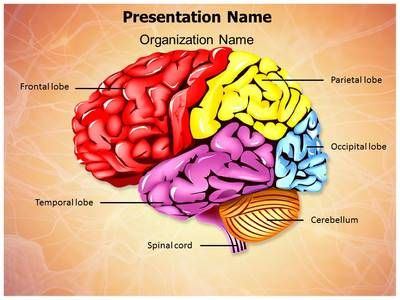 34 best brain powerpoint templates human brain powerpoint check out our professionally designed and world class cerebellum brain parts ppt template toneelgroepblik Image collections