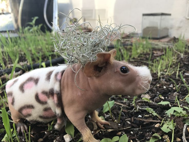 Harry potty skinny pig hairless guinea pig