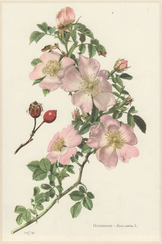 Vintage Botanical Print, Rosa canina, dog-rose, Lithograph Print.  Botany Illustration published in 1960, beautifully detailed, brilliantly colored, perfect for framing.  Condition: very good. Original print!  Technique: Offset Lithography. Paper size approx 10.6 x 7.5inches (27 x 19 cm) including border.  Origin: Hamburg, Germany.  Scientific description (in German) printed on the reverse.  Please look at the pictures carefully, read the description of each item and examine the pictures…