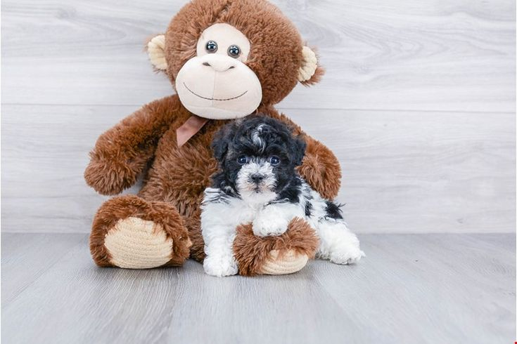 Zuchon Puppies For Sale In Florida References