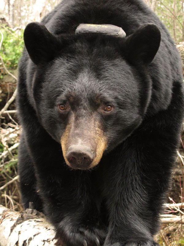 17 best images about North American Bear Center on ...