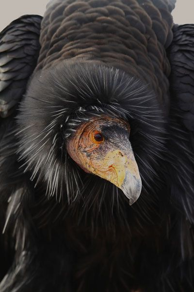 Condors could make it if only Utah hunters would love our wild public lands and non-lead bullets more than the NRA. Despite popularized belief, the two are not mutually exclusive. Logic is failing society!