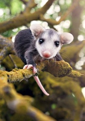 """When people say,""As awesome as a possum.""they mean,""As awesome as a baby possum."""
