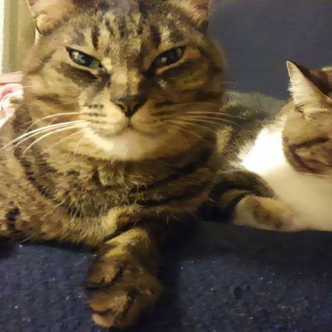 ハナリンちゃん、ソファの肘掛けが、お気に入り♪♪ #愛猫 #ソファ肘掛け #キジトラ #リラックス #可愛いネコ #見ているだけで、幸せ