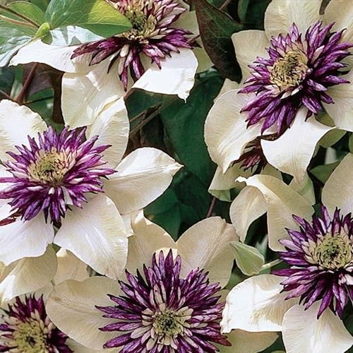 Passion Flower Clematis Height: 6-10' Zones: 5-9 Bloom Time: Early Summer to Early Fall Light: Full Sun to Partial Shade