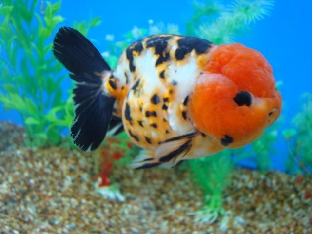 Lionhead vs ranchu goldfish goldfish pictures and for Fish tank for goldfish