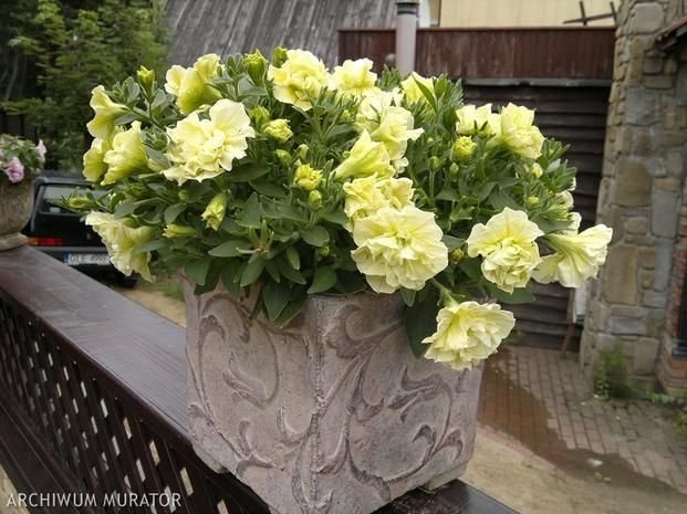Surfinie - kwiaty balkonowe. Popularne kwitnące rośliny balkonowe - - wymarzonyogrod.pl