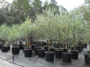 Olive Tree Growers - Frequently Asked Questions About Olive Trees