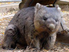 この表情がたまらない池田市にある五月山動物園にいるウォンバットくんです  とっても珍しい動物でオーストラリアの草食動物です 池田市はオーストラリアのローンセストン市と姉妹都市でウォンバットはその友好の証として贈られたものなんです 現在ウォンバットは3頭飼育されていますがこの秋には新たに3匹のウォンバットが仲間入りするそうですよ つぶらなお目めにモコモコした体で一生懸命歩いたりご飯をたべたりすっごく可愛いです 五月山動物園はとても小さな動物園日本で2番目に小さいなのですがなんと入園無料 他にもヤギやモルモットアルパカワラビーなどの生き物も近くで触れ合うことができますよ ぜひ五月山動物園へ遊びにいらしてください  http://ift.tt/JAyyoe  #動物園 #夏 #夏休み #お出かけ tags[大阪府]