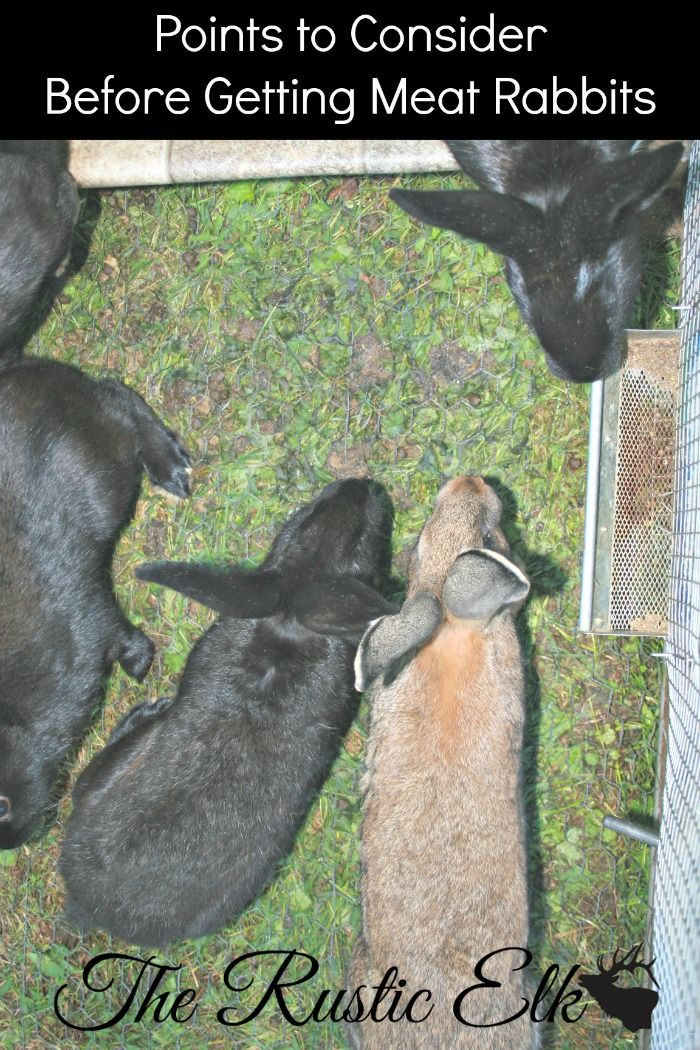 Thinking of adding meat rabbits to your homestead? Great! Here is what you need to consider, first.