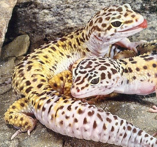 Sexing your Leopard gecko As with most animals, male and female Leopard geckos also exists. Although apparent to the trained eye, sexing your Leopard gecko can be a bit tricky at first.  http://www.leopardgeckos.co.za/sexing-your-leopard-gecko/