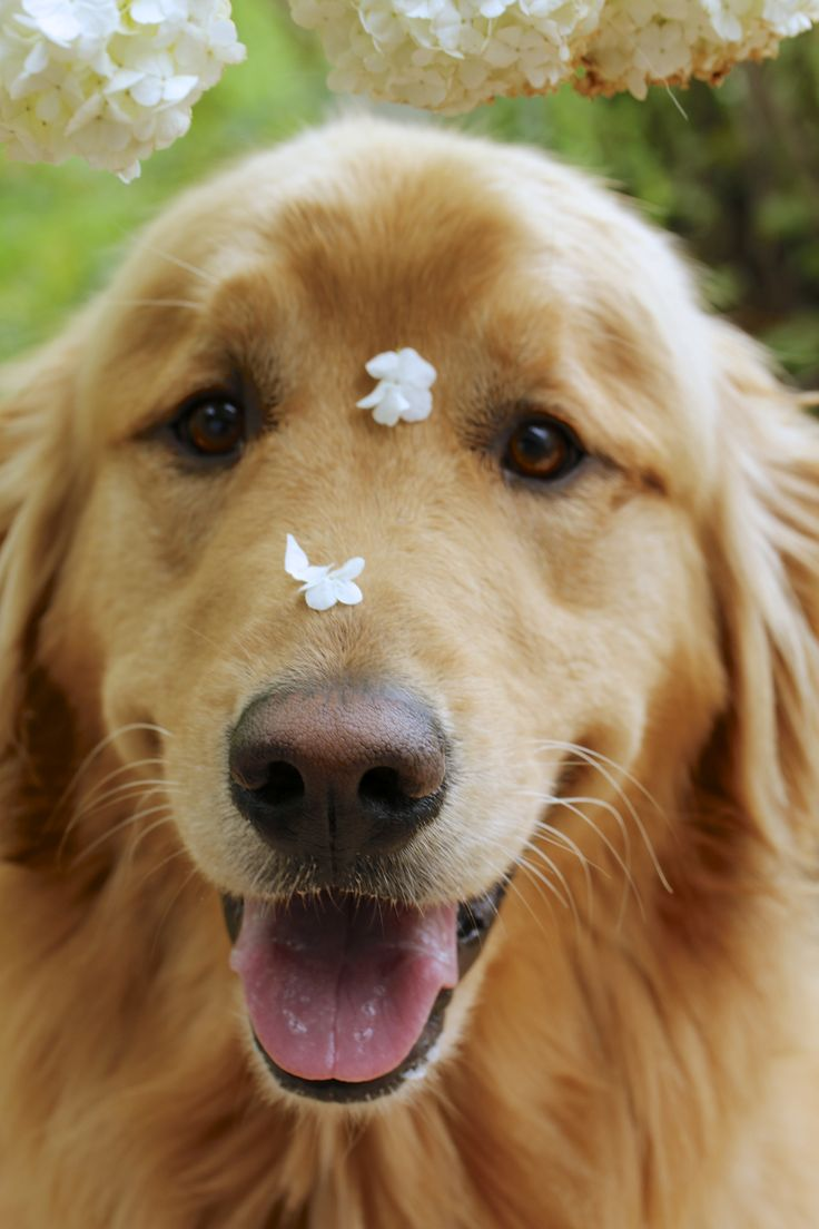 Pin by Wanda Mackey on Just Goldens Best dogs for