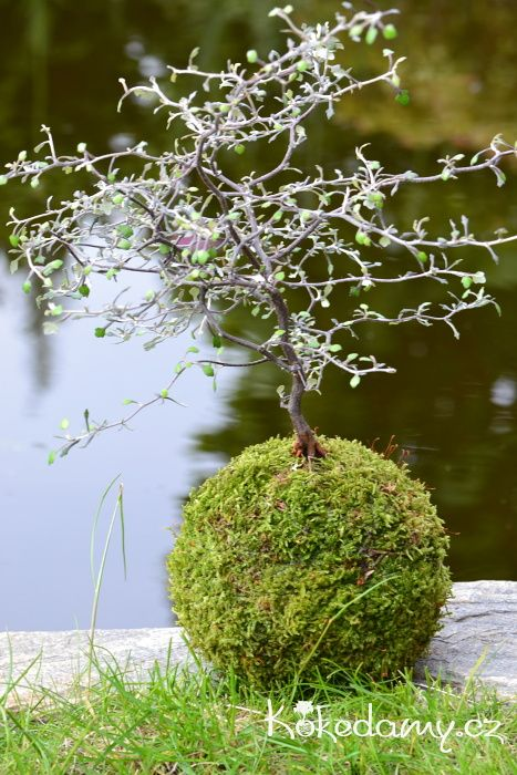 12 best Corokia images on Pinterest Live Plants and  : 14d21ddb8faeed4e3bb9f1a22e415b74 container garden ikebana from www.pinterest.com size 467 x 700 jpeg 81kB