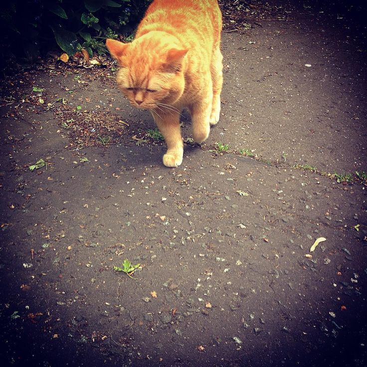 Favourite neighbourhood cat ...... Oscar . Has a permanent grumpy face but still adorable. Escorts everyone down the path . #stockbridge #visualsgang #visualsoflife #creative #oscar #ginger #gingercat #cat #catsofinstagram #cats #animals #animalsofinstagram #animallovers #animalphotography #edinburgh #vsco #vscocam #photographer #photography #photoshoot #visualsoflife #creativity #smoothoperator
