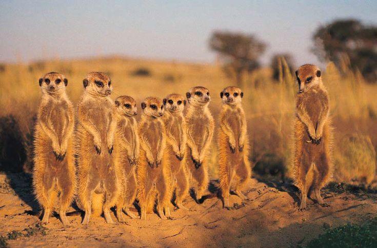 Meerkats, surprisingly not from Russia