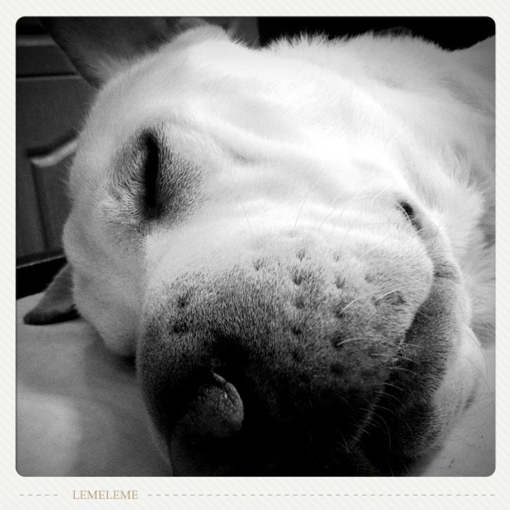 #sharpei #labrador #mixedbreed #bw #dog #sleep