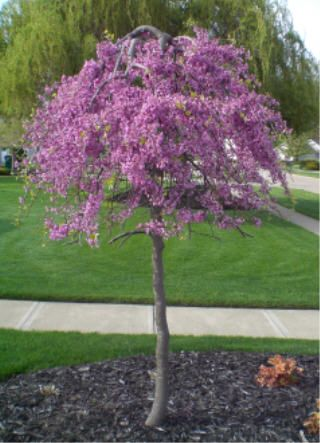 Lavender Twist Weeping Redbud Tree (patented) - must be staked/trained to grow to about 6' to 7'