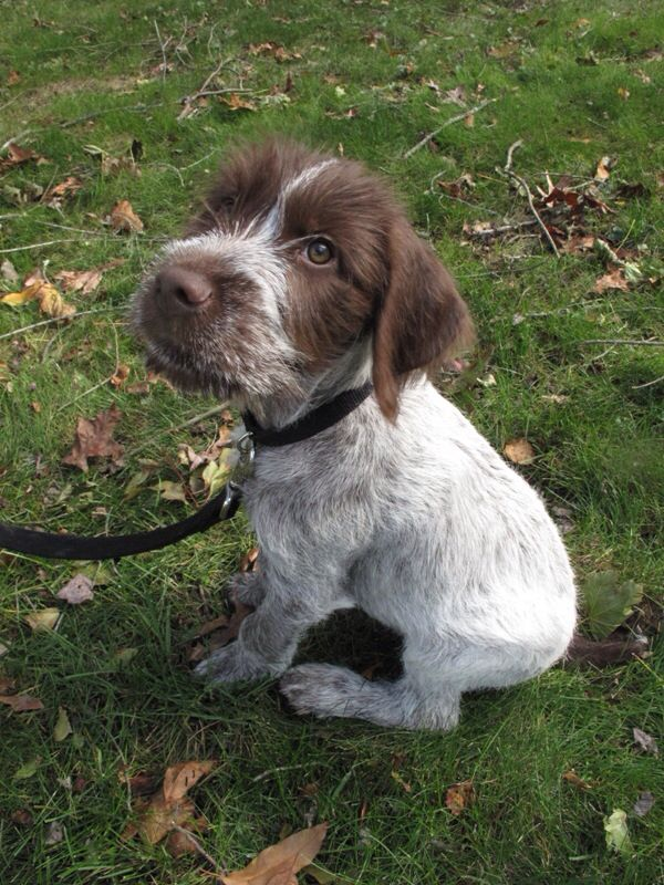 German Wirehaired Pointer- this is definitely our little Champ, but with different coloring!
