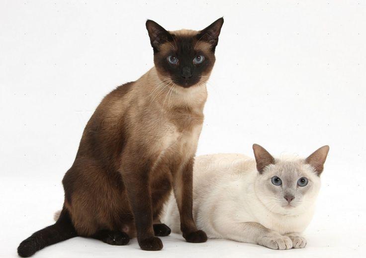 Kedilerde Kızgınlıklık Dönemi Nedir? | Hayvan Kolik